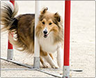 An image of a strong puppy running through an agility course