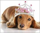 A glamorously dressed miniature poodle